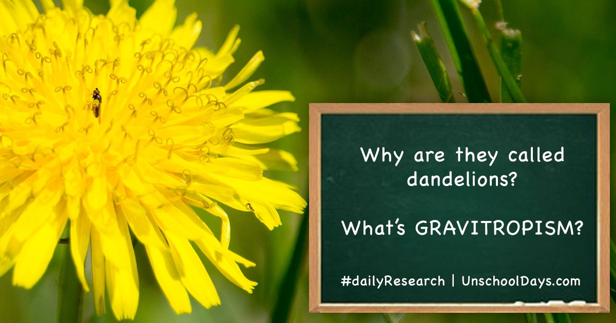 dandelion research
