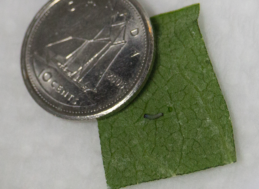 this caterpillar hatched the night before